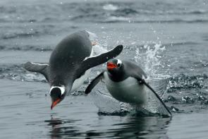 <p><strong>Fig. 5.44.</strong>&nbsp;(<strong>C</strong>) Gentoo penguins (<em>Pygoscelis papua</em>) exhibiting porpoising swim behavior, Antarctica</p><br />