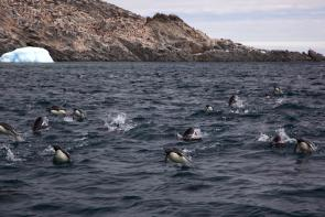 <p><strong>Fig. 5.44.</strong>&nbsp;(<strong>D</strong>) Adélie penguins (<em>Pygoscelis adeliae</em>) exhibiting porpoising swim behavior, Antarctica</p><br />