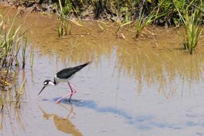 <p><strong>Fig. 5.47.</strong> (<strong>A</strong>) Black-necked stilt (<em>Himantopus mexicanus</em>) foraging for small invertebrate prey in a shallow salt marsh, Bolsa Chica Ecological Reserve, Huntington Beach, California</p><br />