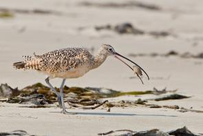 <p><strong>Fig. 5.47.</strong>&nbsp;(<strong>B</strong>) Long-billed curlew (<em>Numenius americanus</em>), eating a sand crab on Morro Strand State Beach, Morro Bay, California</p><br />