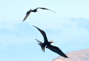 <p><strong>Fig. 5.49.</strong>&nbsp;(<strong>C</strong>) Food stealing behavior between two frigatebirds, Santiago Island, Galápagos Islands</p><br />