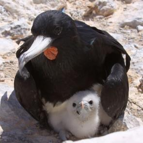 <p><strong>Fig. 5.50.</strong>&nbsp;(<strong>C</strong>) Adult male Ascension frigatebird (<em>Fregata aquila</em>) with chick, Boatswain Bird Island, Ascension Island, south Atlantic ocean basin</p><br />