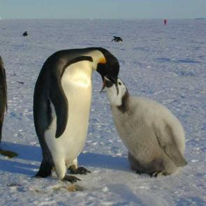<p><strong>Fig. 5.50.</strong>&nbsp;(<strong>D</strong>) Emperor penguin (<em>Aptenodytes forsteri</em>) feeding its chick with regurgitated fish, crustaceans and squid, Atka Bay, Weddell Sea, Antarctica</p><br />