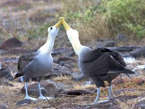 <p><strong>Fig. 5.52.</strong> (<strong>A</strong>) Bill touching courtship behavior in waved albatross (<em>Phoebastria irrorata</em>), Española Island, Galápagos Islands</p><br />