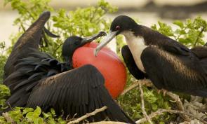 <p><strong>Fig. 5.52.</strong>&nbsp;(<strong>C</strong>) Male great frigatebird (<em>Fregata minor</em>; left) displaying its red throat pouch to a female (right) on Santa Cruz Island, Galápagos Islands.</p><br />