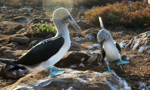 "<p><strong>Fig. 5.52.</strong>&nbsp;(<strong>D</strong>) Two male blue-footed booby (<em>Sula nebouxii</em>) exhibiting ""parading"" dance courtship behavior, Santa Cruz Island, Galápagos Islands</p><br />"