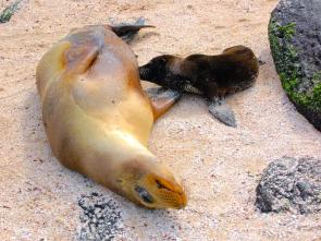 <p><strong>Fig. 6.12.</strong> (<strong>A</strong>) Galápagos sea lion (<em>Zalophus wollebaeki</em>) mother feeding her pup through lactation, Galápagos Islands</p><br />