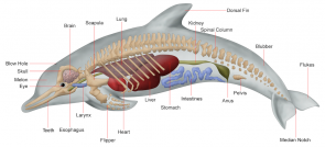 <p><strong>Fig. 6.13.</strong> Internal anatomy of a dolphin</p><br />