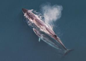 <p><strong>Fig. 6.16.</strong>&nbsp;(<b>C</b>) Sei whale (<em>Balaenoptera borealis</em>) mother and calf as seen from an aerial survey</p><br />