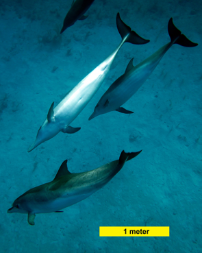 <p><strong>Fig. 6.17.1.</strong>&nbsp;(<strong>B</strong>) Atlantic spotted dolphins (<em>Stenella frontalis</em>)</p><br />