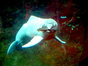 <p><strong>Fig. 6.25.</strong> (<strong>A</strong>) Amazon River dolphin (<em>Inia geoffrensis</em>) catching a fish with its sharp teeth</p><br />