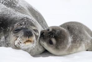 <p><strong>Fig. 6.28.</strong>&nbsp;(<strong>B</strong>) Weddell seal (<em>Leptonychotes weddellii</em>) adult and pup, Erebus Bay, Antarctica</p><br />
