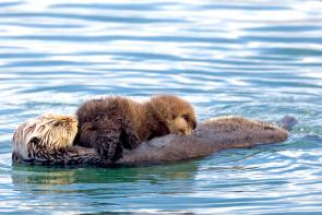 <p><strong>Fig. 6.28.</strong>&nbsp;(<strong>D</strong>) Sea otter (<em>Enhydra lutris</em>) mother with nursing pup, Morro Bay, California</p><br />