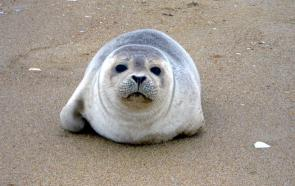 <p><strong>Fig. 6.3.</strong>&nbsp;(<strong>D</strong>) Harbor seal (<em>Phoca vitulina</em>) pup, Back Bay National Wildlife Refuge, Virginia</p><br />
