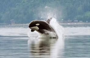 <p><strong>Fig. 6.6.</strong> (<strong>A</strong>) Killer whale (<em>Orca orca</em>), an odontocete toothed-whale</p><br />