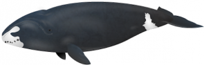 <p><strong>Fig. 6.6.</strong>(<strong>D</strong>) Drawing of a bowhead whale (<em>Balaena mysticetus</em>), a mysticete baleen-whale</p><br />