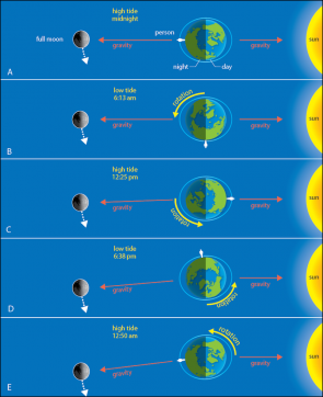 "<p><strong>Fig. 6.6.</strong> <span style=""font-size: 13.008px; line-height: 1.538em;"">Tides at various times of the day as the earth rotates during a full moon (North Pole view). The observer's local time is indicated (note that the person is standing on the equator). Distance and sizes of the earth, the moon, and the sun are not to scale. (<strong>A</strong>) High tide at midnight (<strong>B</strong>) Low tide at 6:13 a.m. (<strong>C</strong>) High tide at 12:25 p.m. (<strong>D</strong>) Low tide at 6:38 p.m. (<strong>E</strong>) High tide at 12:50 a.m.</span></p><br />"