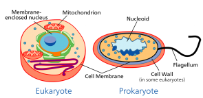 <p><strong>Fig. 7.10.</strong> Comparison of prokaryotic and eukaryotic cells (not to scale)</p><br />