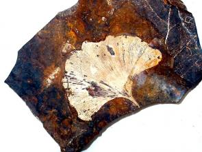 <p><strong>Fig. 7.12.</strong> (<strong>A</strong>) Fossil leaf of <em>Ginkgo biloba</em>, a tree species that was alive in the Mesozoic era and has survived to present day.</p>