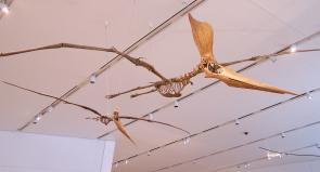"<p><strong>Fig. 7.12.</strong> <span style=""line-height: 1.538em;"">(<strong>C</strong>) Replica fossil skeletons of <em>Geosternbergia</em> sp., a flying pterosaur related to dinosaurs.</span></p><br />"