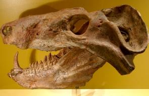 <p><strong>Fig. 7.20.</strong> (<strong>B</strong>) Fossil skull of <em>Cynognathus</em> sp.</p><br />