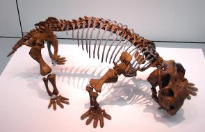 <p><strong>Fig. 7.20.</strong> (<strong>D</strong>) Fossil skeleton of <em>Lystrosaurus</em> sp.</p><br />