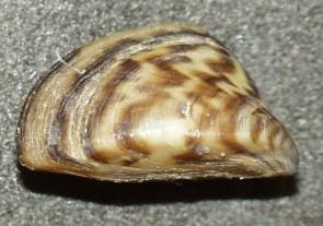 <p><strong>Fig. 8.45.</strong> The zebra mussel (<em>Dreissena</em> <em>polymorpha</em>), an invasive freshwater species, was introduced to the North American Great Lakes through ballast water.</p><br />