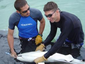 <p><strong>SF Fig. 2.15.1.</strong> The nostrils of a blacktip reef shark (<em>Charcharhinus melanopterus</em>) are visible (forward of the eyes) as researchers measure the shark during a feeding study.</p>