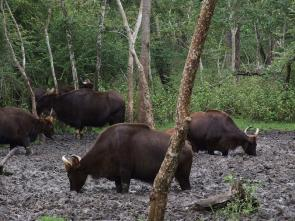 <p><strong>SF Fig. 2.3. </strong>(<strong>B</strong>) A wild herd of Indian bison, or gaur, at a natural salt lick, Rajiv Gandhi National Park, India.</p><br />