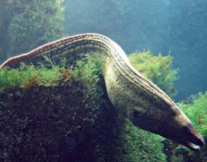 <p><strong>Fig. 4.21.</strong> (<strong>D</strong>) Eel (anguiliform-eel like)</p><br />