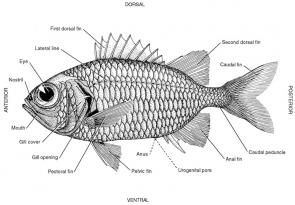 <p><strong>Fig. 3.7.</strong> Anatomy of a soldierfish, <em>Myripristis berndti</em>.</p><br />
