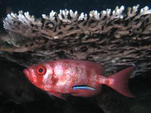 <p>SF Fig. 4.11.&nbsp; <strong>(A)</strong> Big eye squirrelfish (Priacanthus hamrur) being serviced by cleaner wrasse (Labroides dimidiatus)</p><br />