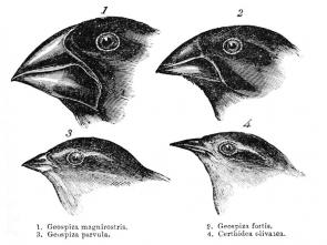 "<p><strong>SF Fig. 1.2.</strong>&nbsp;<span style=""font-size: 13.008px; line-height: 1.538em;"">(<strong>B</strong>) Charles Darwin noted the different beak shapes in the beaks of finches from the Galapagos Islands.</span></p><br />"