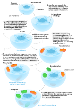 <p><strong>SF Fig. 2.4.</strong> The process of serial endosymbiosis is explained in the diagram above. Mitochondria and chloroplasts were likely created when a eukaryotic cell engulfed smaller, prokaryotic cell, which then became an organelle.</p><br />
