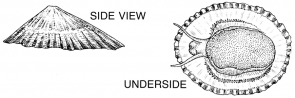 <p><strong>SF Fig. 3.5.</strong>(<strong>C</strong>) Diagram of limpet exterior</p>