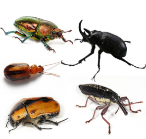 <p><strong>SF Fig. 3.6. </strong>Representatives of order Coleoptera, the beetles</p>