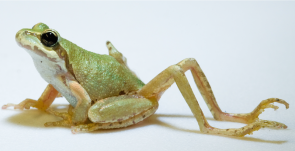<p><strong>SF Fig. 5.2.</strong> (<strong>A</strong>) Pacific tree frog (<em>Pseudacris regilla</em>) with additional hind limbs caused by a parasitic flatworm infection</p><br />