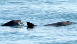 <p><strong>SF Fig. 6.2.</strong>&nbsp;(<strong>C</strong>) Two vaquita porpoises (<em>Phocoena sinus</em>), Gulf of California, Pacific ocean basin</p><br />