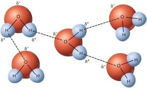 <p><strong>Fig. 3-7:</strong> Hydrogen bonds shown as the dotted lines between water molecules.</p><br />
