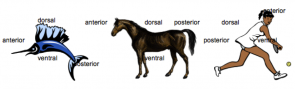 <p><strong>Fig. 3.17.</strong> Common anatomy terms applied to three different animals: a billfish, a horse, and a person.</p><br />