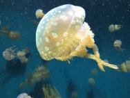 <p><strong>Fig. 3.25.</strong> (<strong>C</strong>) Jellyfish</p><br />
