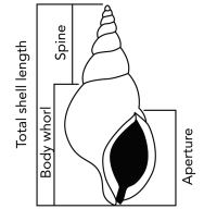 <p><strong>Fig. 3.56.3.</strong> Gastropod shell measurements</p><br />