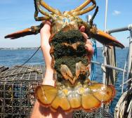 <p><strong>Fig. 3.82.</strong>&nbsp;(<strong>B</strong>) American lobster (<em>Homarus americanus</em>)</p><br />