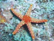 <p><strong>Fig. 3.83.</strong>&nbsp;(<strong>B</strong>) Sea star (class Asteroidea)</p><br />