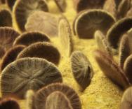 <p><strong>Fig. 3.87.</strong> (<strong>E</strong>) Velvet-textured spines on a sand dollar</p><br />