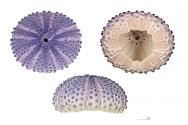 <p><strong>Fig. 3.89.</strong> (<strong>A</strong>) Top, bottom, and side view images of a <em>ha'uke'uke kaupali</em> or shingle sea urchin (<em>Colobocentrotus atratus</em>) test</p><br />
