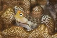 <p><strong>(B)</strong> A blenny hiding in coral</p><br />