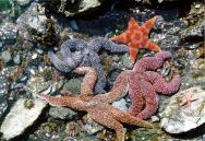 <p><strong>Fig. 4.7.</strong> (<strong>A</strong>) Starfish, or sea stars, are really echinoderms (not fish).</p><br />