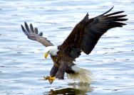 <p><strong>Fig. 5.34.</strong>&nbsp;(<strong>F</strong>) Bald eagle (<em>Haliaeetus leucocephalus</em>) catching fish</p><br />