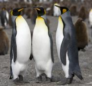 <p><strong>Fig. 5.37.</strong>&nbsp;(<strong>A</strong>) King penguin (<em>Aptenodytes patagonicus</em>) South Georgia Island, south Atlantic ocean basin</p><br />